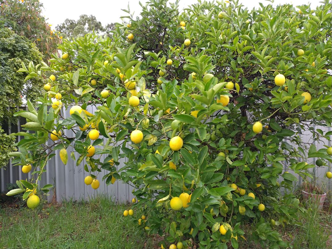 25Apr17 Lemons We have them Its a grey dreary dayhellip